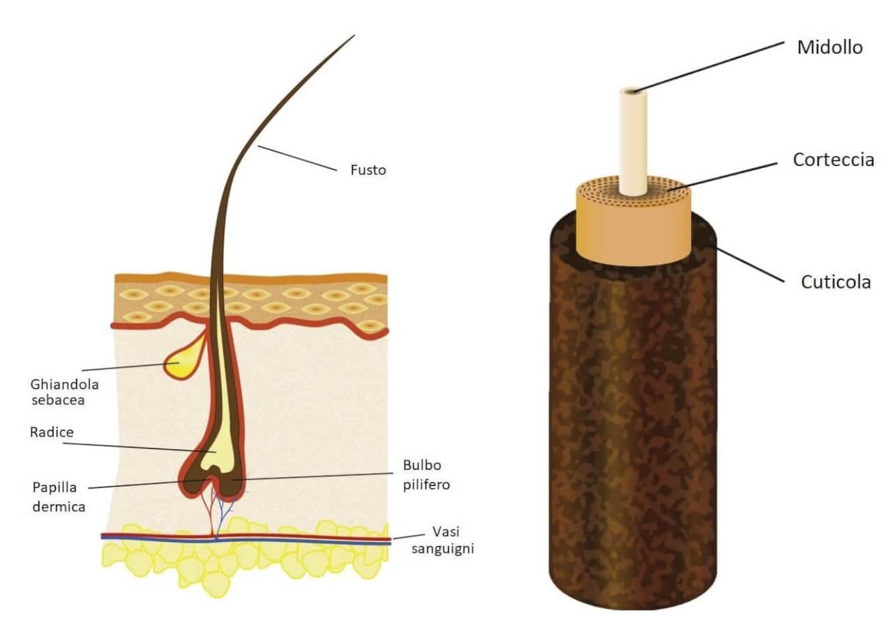 Fusto Ghiandola sebacea Radice Papilla dermica Midollo Corteccia Cuticola