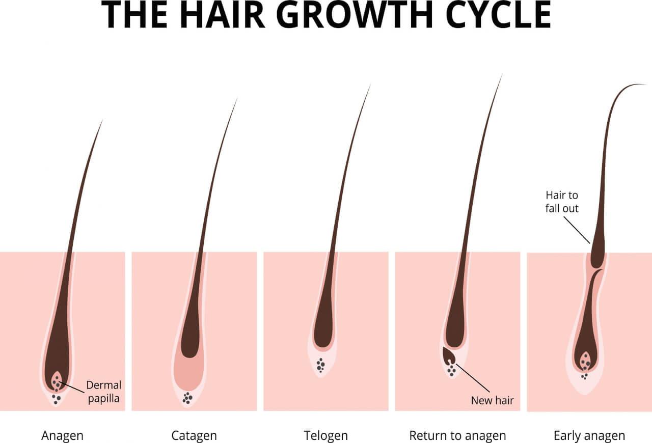 Il ciclo vitale delle ciglia