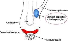 Hair follicle predetermination, Journal of Cell Science